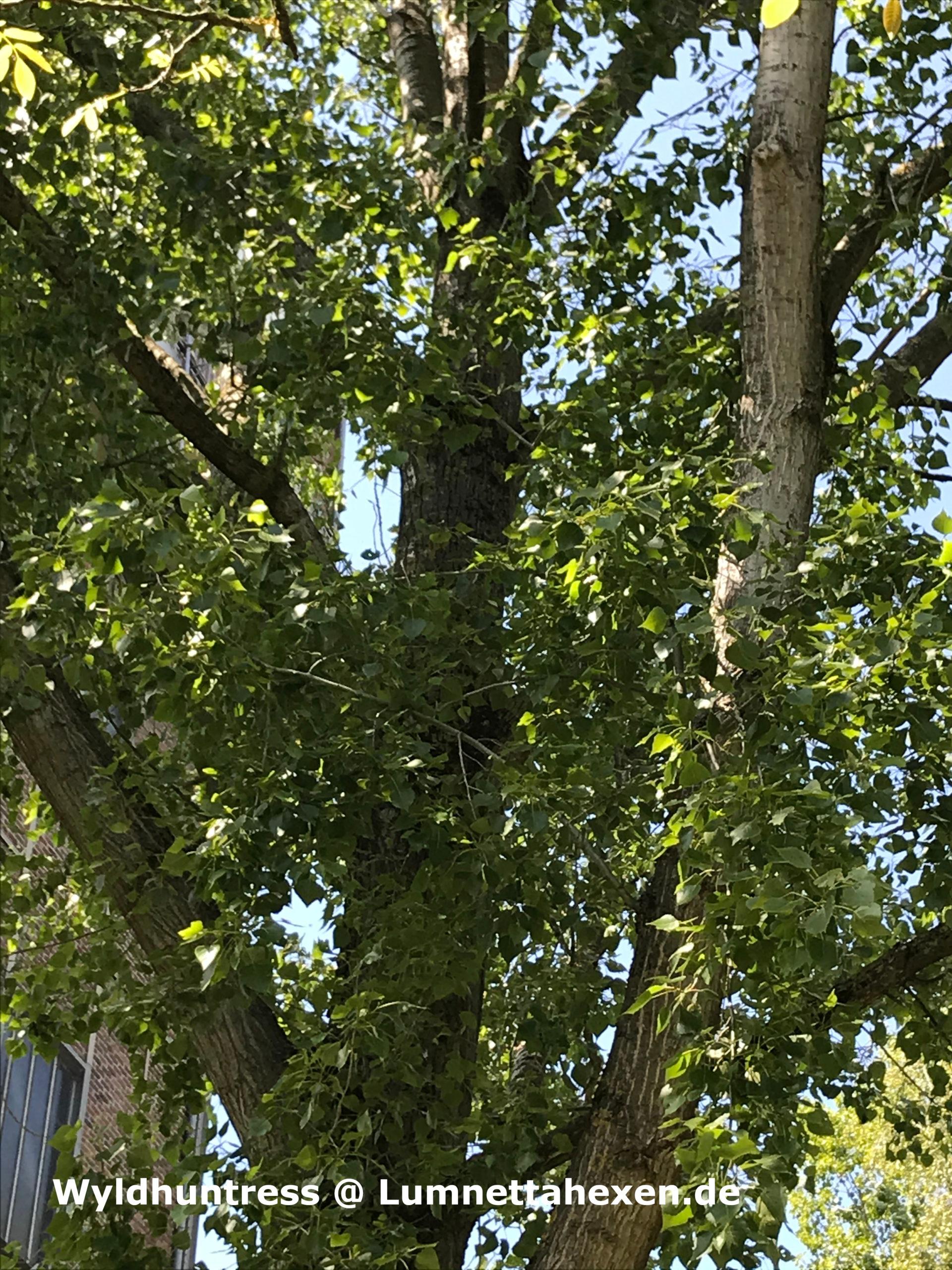 Baumbegegnungen - Die Pappel (Populus)