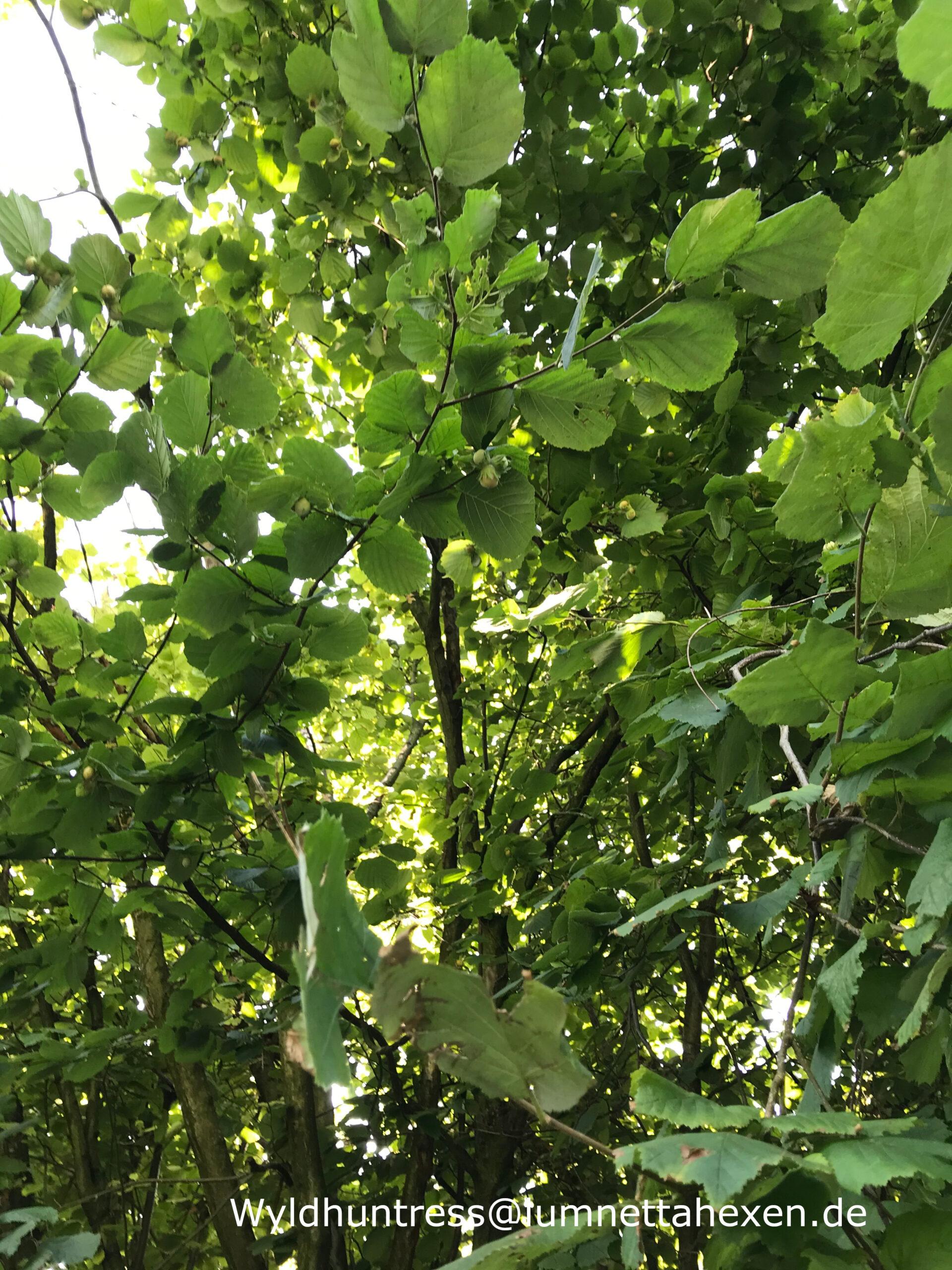 Baumbegegnungen - Die gemeine Hasel (Corylus avellana)